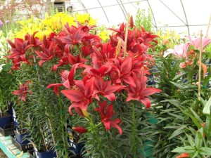 Colourful Asiatic Lilies!