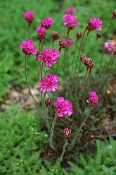 Dusseldorf Pride Sea Thrift